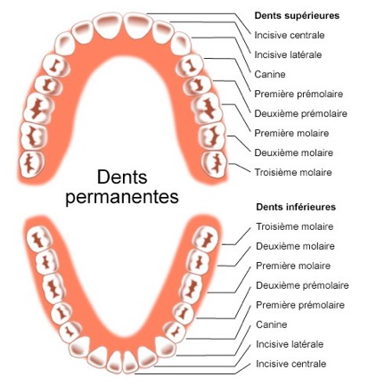 Dents permanentes.jpg